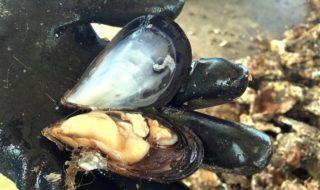 地元産のムール貝を糸島の新名物に 01
